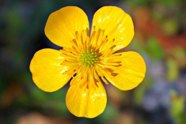 Photograph - Spring Buttercup by Candice Trimble