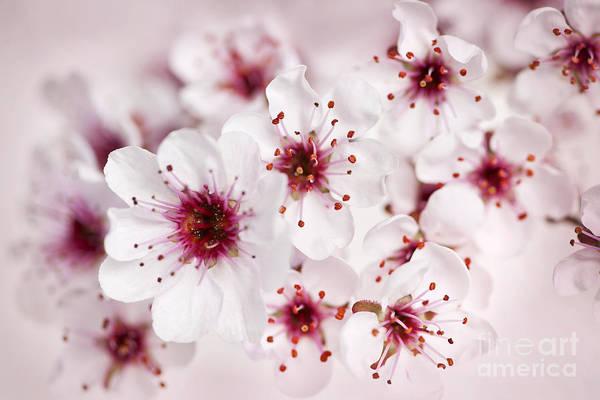 Flowering Photograph - Spring Cherry Blossom by Elena Elisseeva