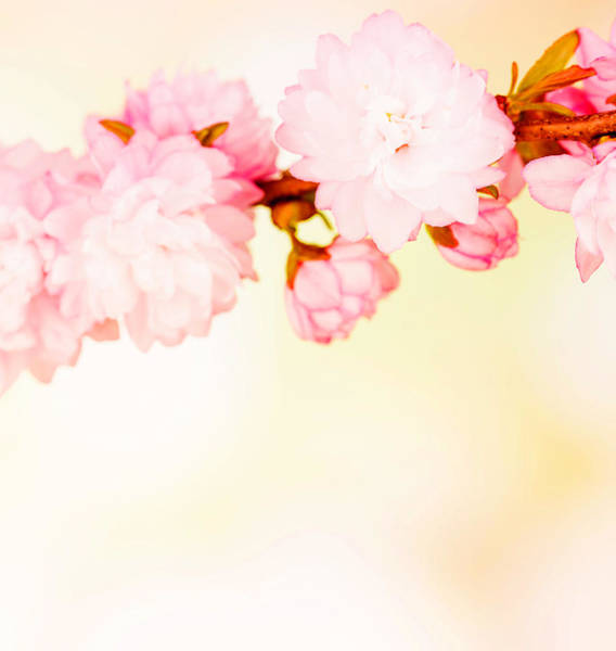 Sparse Photograph - Spring Cherry Blossom With Copy Space by Catlane