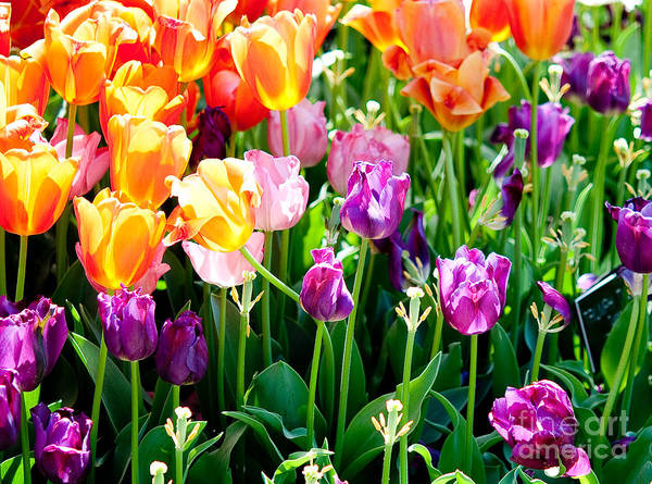 Purple Tulip Photograph - Spring Color by Shijun Munns