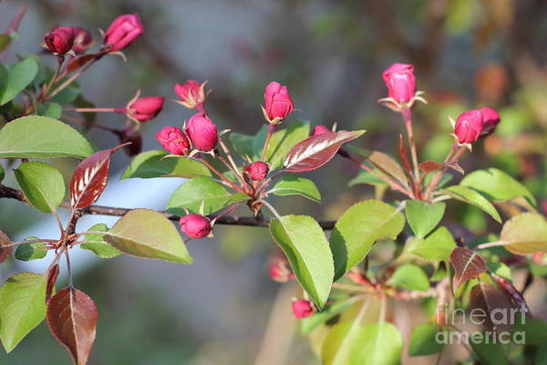 Photograph - Spring Crabapple Buds V2 by Donna L Munro