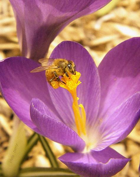 Wall Art - Photograph - Spring Crocus And Honeybee by Chris Berry