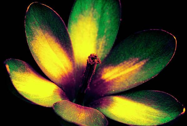 Wall Art - Photograph - Spring Crocus In Uv Light by Bjorn Rorslett/science Photo Library