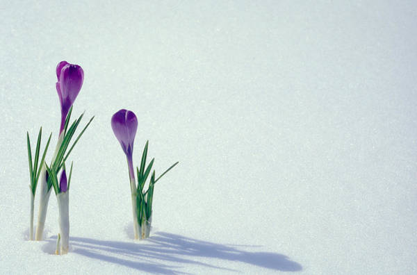Wall Art - Photograph - Spring Crocuses In Snow  by Anonymous