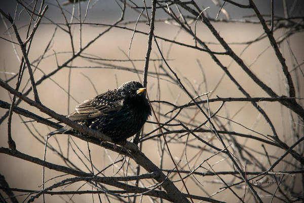 Horicon Marsh Photograph - European Starling by Jayne Gohr