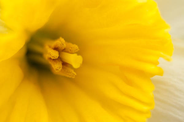 Photograph - Spring Daffodil by Kristia Adams