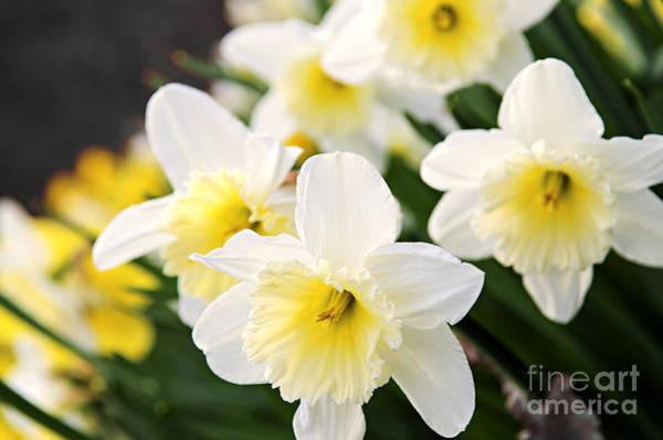Daffodils Wall Art - Photograph - Spring Daffodils by Elena Elisseeva