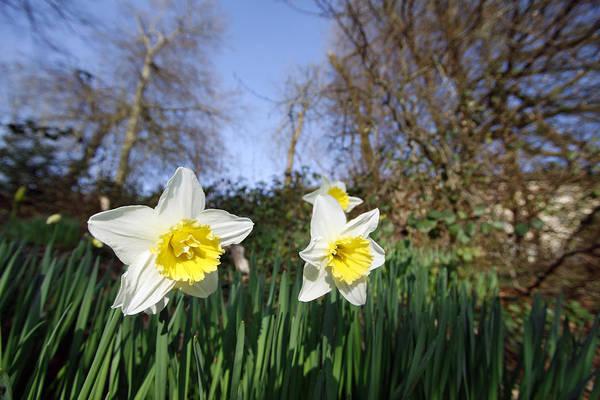 Dafodil Photograph - Spring Daffodils by Steve Ball