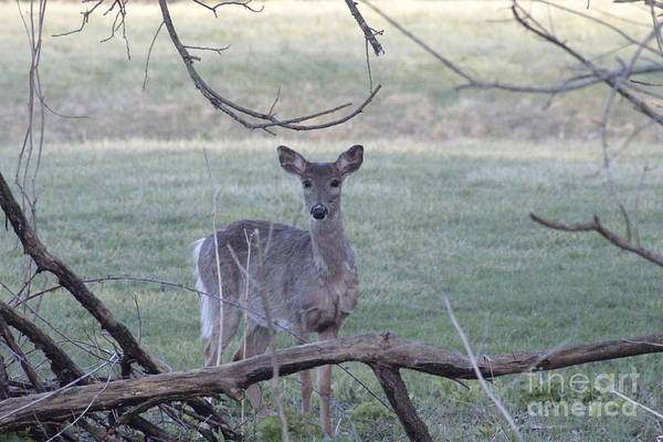 Photograph - Spring Doe by Jim Lepard