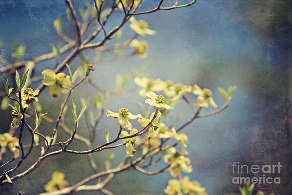 Wall Art - Photograph - Spring Dogwood by Joan McCool