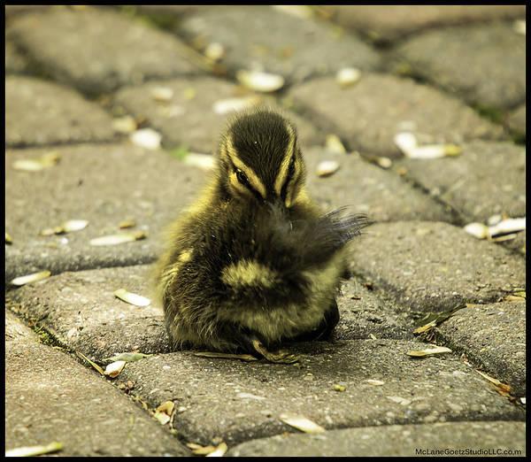 Duck Meat Photograph - Spring Duckling Flirt by LeeAnn McLaneGoetz McLaneGoetzStudioLLCcom