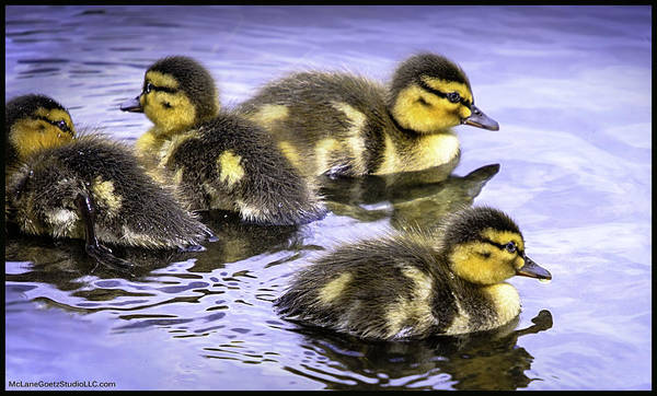 Duck Meat Photograph - Spring Ducks Tears Gossip Hurts by LeeAnn McLaneGoetz McLaneGoetzStudioLLCcom
