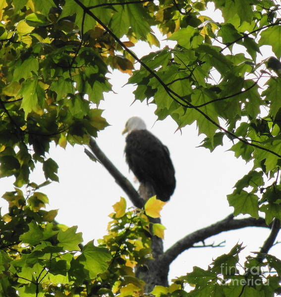 Wall Art - Photograph - Spring Eagle Xii by Daniel Henning