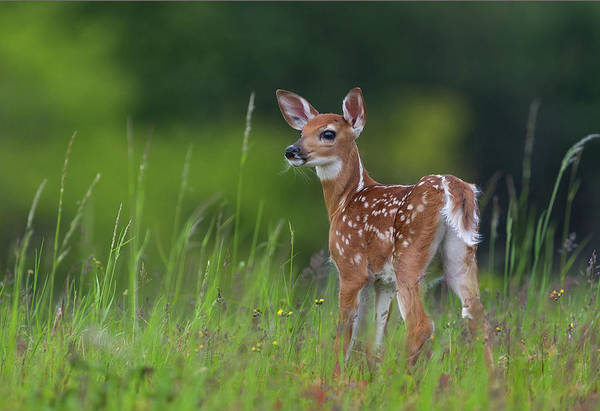 Wild Grass Photograph - Spring Fawn by Nick Kalathas