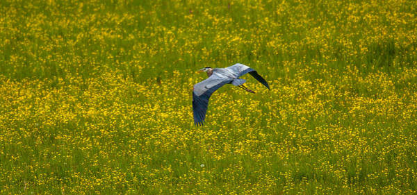 Photograph - Spring Flight by Kevin  Dietrich