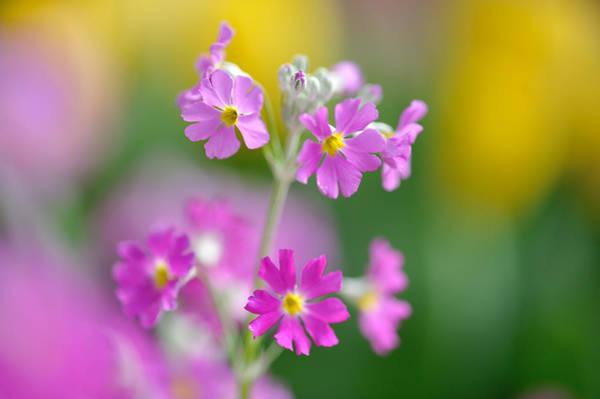 Wall Art - Photograph - Spring Flower by Myu-myu