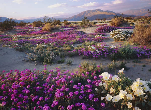 Spring Flowers Carpet Anza Borrego State Park Art Print by Ron and Patty Thomas
