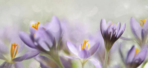 Up Photograph - Spring Flowers by Heidi Westum
