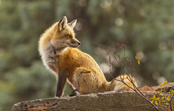 Wall Art - Photograph - Spring Fox by Mircea Costina Photography