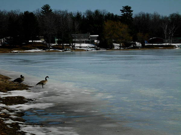 Water Foul Painting - Spring Geese On A Beauitfully Frozen Shoreline by Erica  Darknell