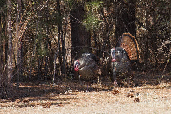Photograph - Spring Gobblers by Ronald Lutz