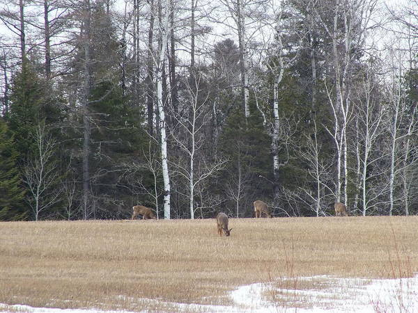 Aroostook County Photograph - Spring Grazing by Gene Cyr