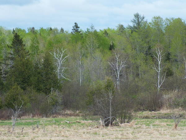 Aroostook County Photograph - Spring Greens by Gene Cyr