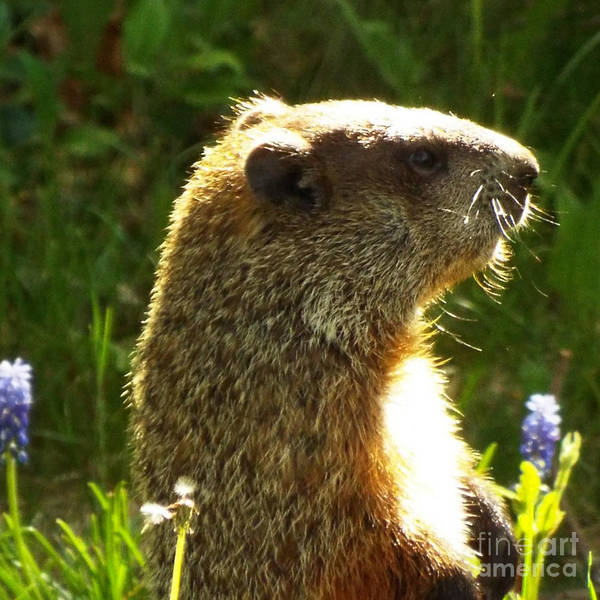 Wall Art - Photograph - Spring Groundhog  by Lisa Roy