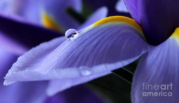 Iris Photograph - Spring Iris by Krissy Katsimbras