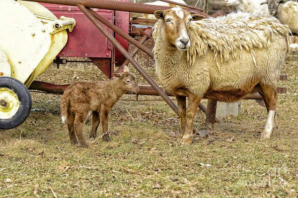 Photograph - Spring Lamb And Ewe by Thomas R Fletcher