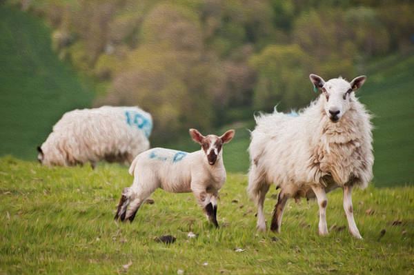 Ovine Photograph - Spring Lamb And Sheep Digital Painting by Matthew Gibson