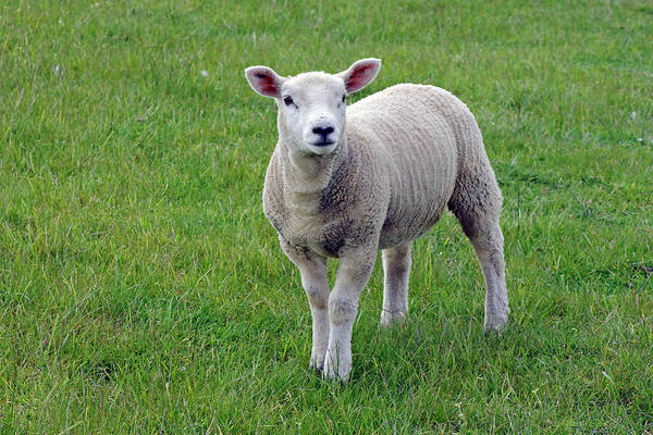 Photograph - Spring Lamb by Tony Murtagh
