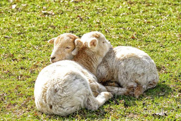 Photograph - Spring Lambs by Thomas R Fletcher