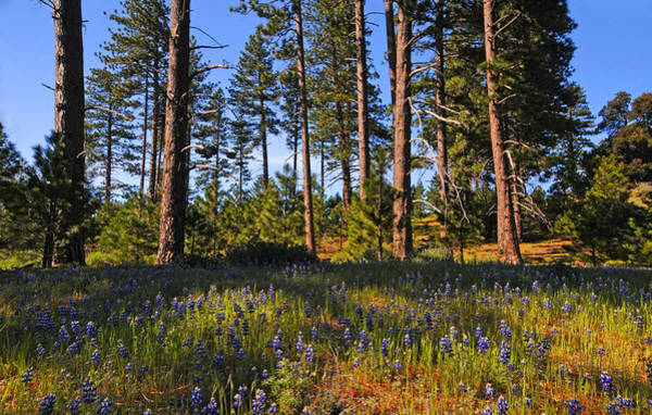 Figueroa Mountain Photograph - Spring Lupines In The Forest by Lynn Bauer