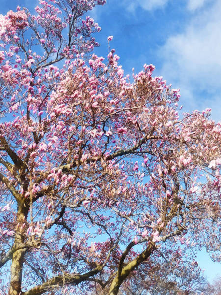 Photograph - Spring - Magnolia Against The Sky by Susan Savad