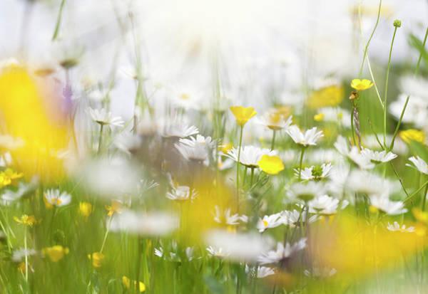 Daisy Photograph - Spring Meadow With Daisy Flowers by Crossbrain66