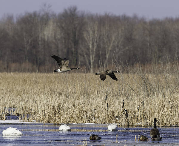 Wall Art - Photograph - Spring Migration At The Marsh by Thomas Young
