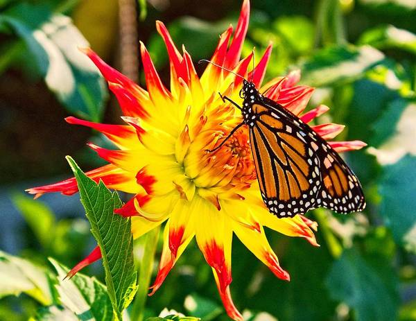 Photograph - Spring Monarch by Nick Zelinsky