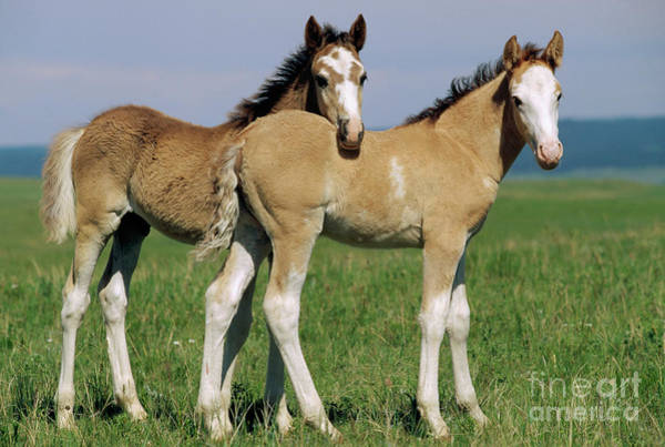Wall Art - Photograph - Spring Mustang Foals Wyoming by Yva Momatiuk John Eastcott