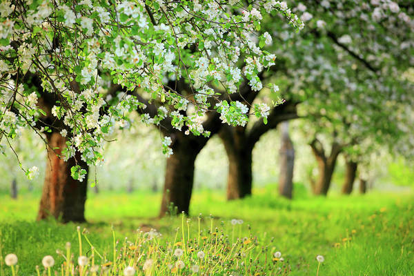 Environmental Issues Photograph - Spring Orchard - Blooming Trees by Konradlew