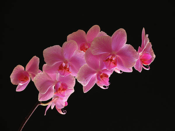 Photograph - Spring Orchids by Juergen Roth