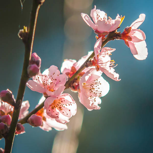Photograph - Spring Peach Tree Blossom by Alex Grichenko