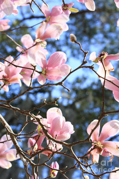 Saucer Magnolia Photograph - Spring Pink And Blue by Carol Groenen