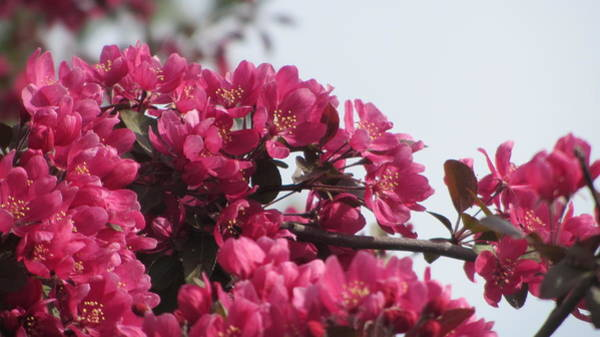 Photograph - Spring Pink by Anita Burgermeister