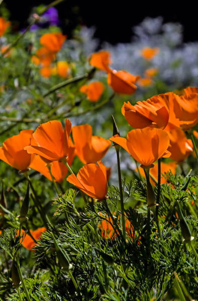 Photograph - Spring Poppies by Michael Hope