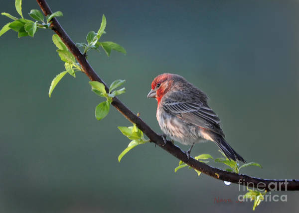 Morning Song Wall Art - Photograph - Song Bird In Spring by Nava Thompson