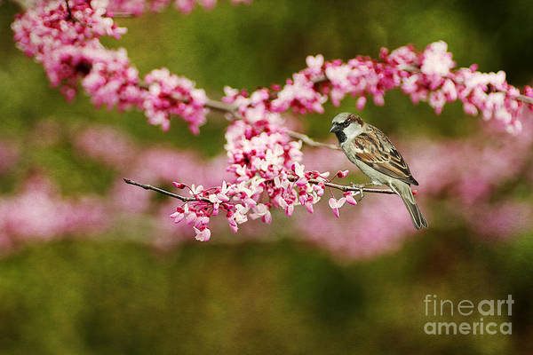 House Sparrow Photograph - Spring Redbud by Darren Fisher