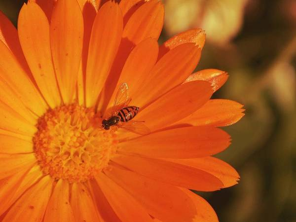 Photograph - Flower And Bee by Rima Biswas
