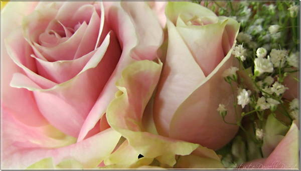 Photograph - Spring Romance Pink Roses by Danielle  Parent