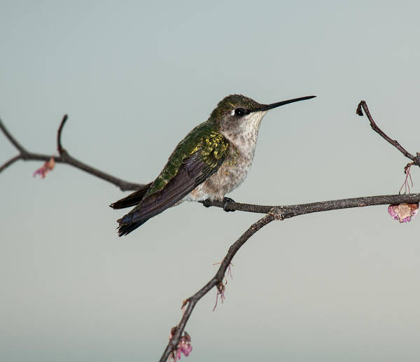 Photograph - Spring Ruby Throated Hummingbird 2014 1 by Lara Ellis